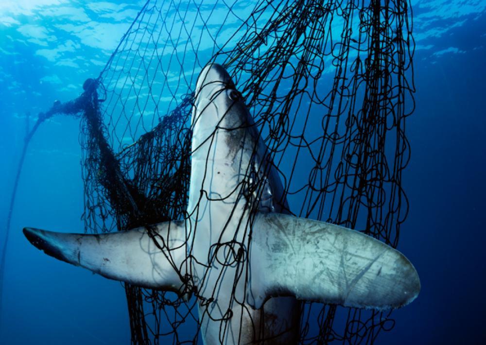 Bycatch Squalo nella rete impatto ambientale